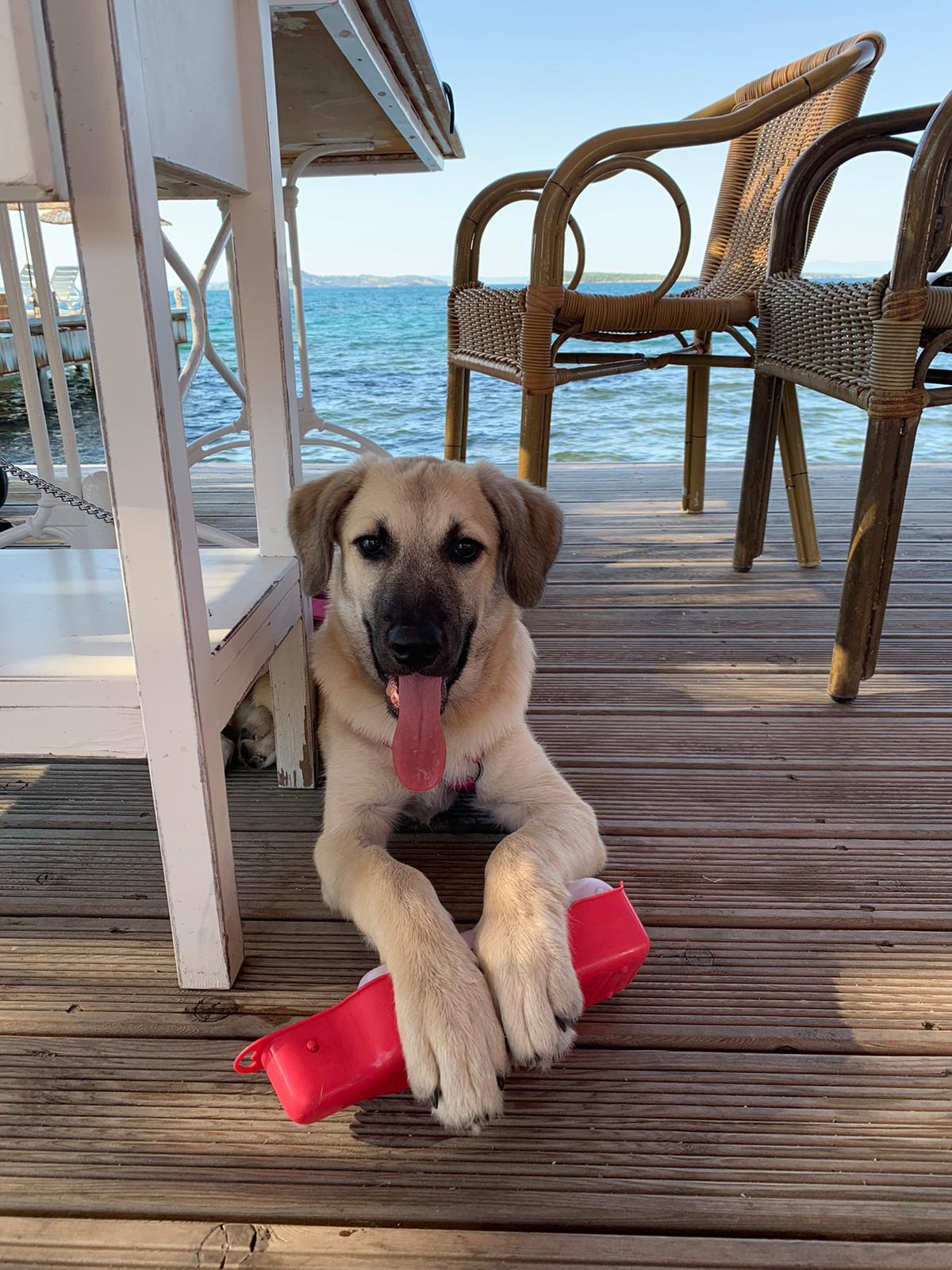Türkischer Hund