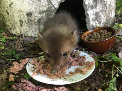 Ein junger Marder freut sich über Katzenfutter.